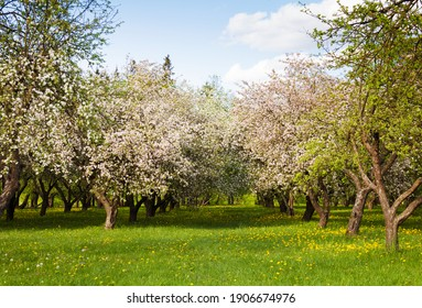 Apple garden with blossom apple trees. Beautiful Countryside spring landscape. Scene with Apple trees in sunny spring day on blue sky background.