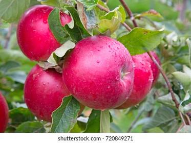 Apple garden full of riped red apples