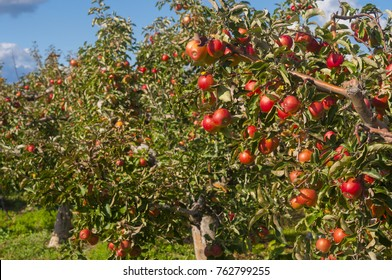 apple garden ison fall