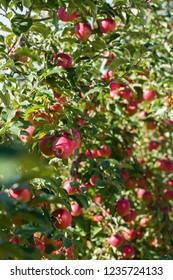 apple garden in summer