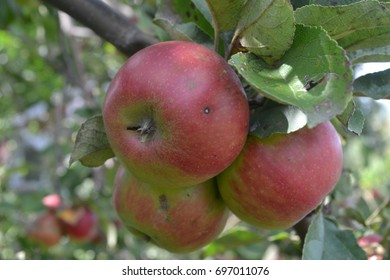 Apple. Grade Jonathan. Apples average maturity.  Growing fruits. Garden. Farm. Fruits apple on the branch. Apple tree. Agriculture. Close-up. Horizontal