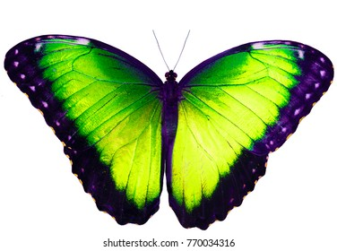 Apple green butterfly isolated on white background with wings open. Color change of blue morpho butterfly, Morpho peleides.