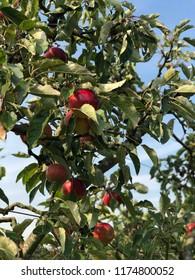 Apple harvest, Autumn time