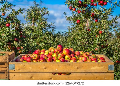 Apple harvest in northern Germany