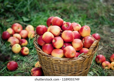 Apple harvest. Ripe red apples in the basket and in dark wooden crate on green grass on the green grass. Apple picking