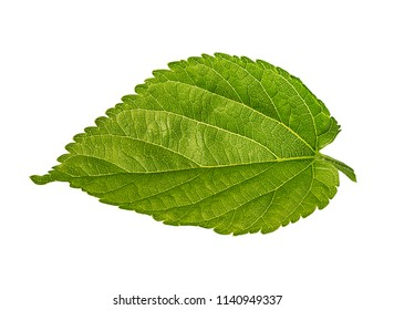 Apple leaf isolated on white background Clipping Path