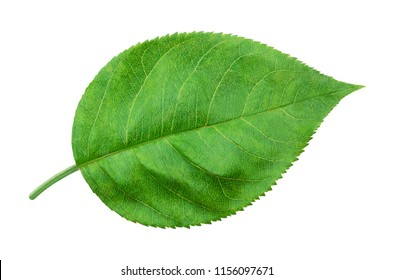 Apple leaf isolated on a white background with clipping path. One of the best isolated apples leaves that you have seen.