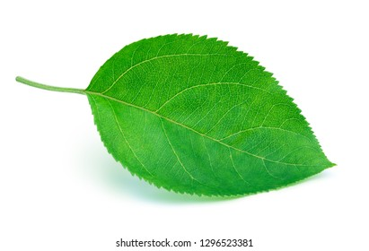 Apple leaf isolated on a white background with clipping path.