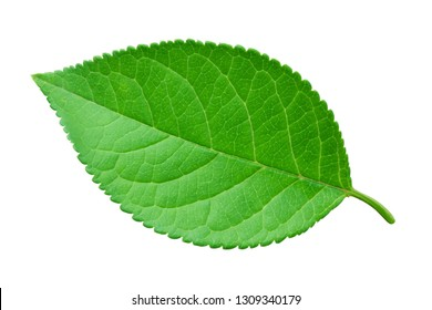 Apple leaf with soft shadow isolated on a white background with clipping path. One of the best isolated apples leaves that you have seen.