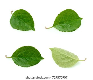 Apple leaves isolated on the white background