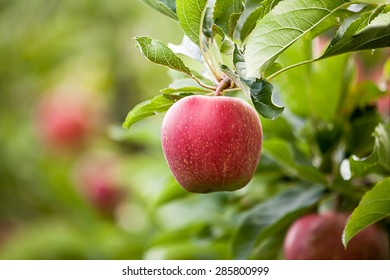 Apple (Malus domestica)