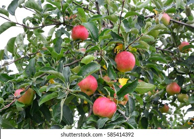 Apple (Malus domestica), on the tree, in japan
