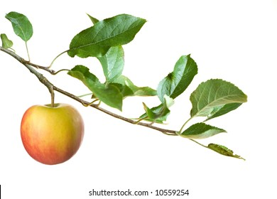 apple on a branch isolated on a white background .focus on apple