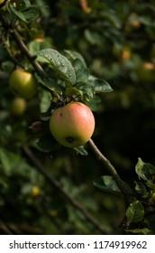 Apple on apple tree