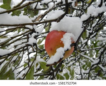 Apple on tree with branches and snow