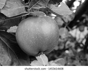 Apple on tree in sommer czech city of Chomutov on 16th July 2019