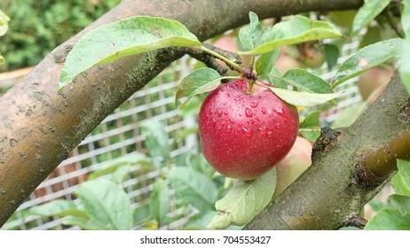 An apple on a tree wet by rain