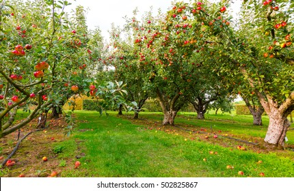 Apple on trees in orchard in fall season