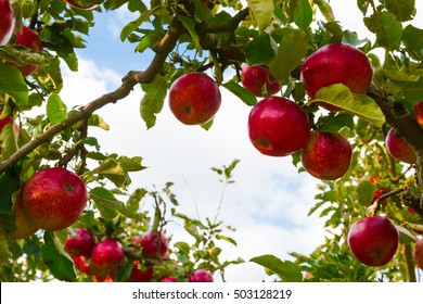 Apple on trees in orchard in fall harvest season