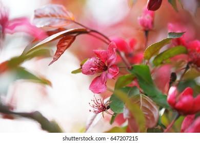 Apple orchard