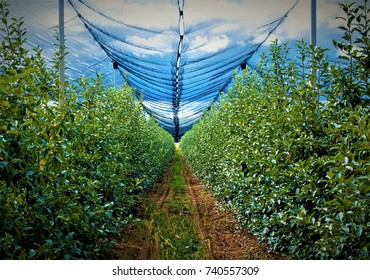 Apple orchard with an anti-hail net / Inside apple orchard, a land for cultivating fruits