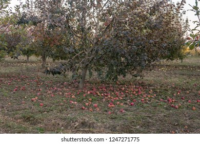 Apple orchard in autumn. Red apples have fallen on ground.