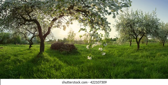 apple orchard, blooming apple tree, fruit trees, white color