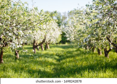 apple orchard with blooming apple trees. Apple garden in sunny spring day. Countryside at spring season. Spring apple garden blossom background