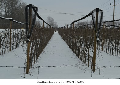Apple orchard covered with snow during winter time