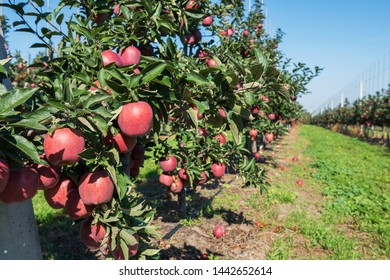 Apple orchard during apple harvesting