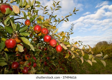 An apple orchard in Fall, with bright red Braeburn apples on healthy apple trees, under a blue Autumn sky with some clouds.