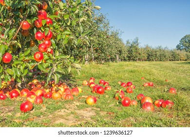 Apple orchard and fallen apples
