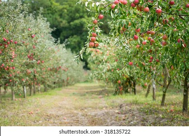 Apple orchard: fresh ripe fruits hanging on trees