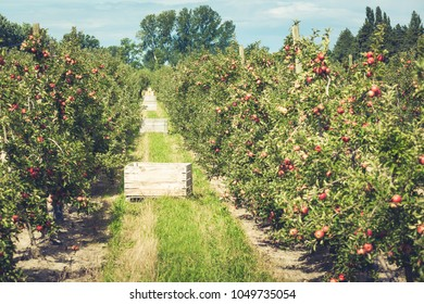 Apple orchard full of riped red fruits at sunny summer day