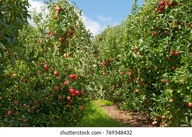 Apple orchard, gala apples orchard in Orange N.S.W. AUSTRALIA, ORANGE PRODUCES A GREAT AMOUNT OF APPLES.