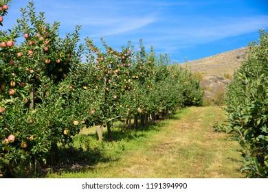 Apple orchard in Kelowna, British Columbia, Canada