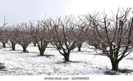 Apple orchard in NSW. Australia, apples grow well in cold areas and Orange in the central table land of the state is such a place with snow falls.