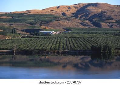 Apple Orchard on Okanagon River