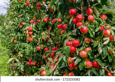 Apple orchard with red apples. Colorful ripe apples on tree ready to be harvested.
