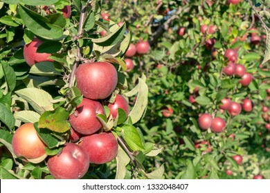 Apple orchard with red apples at peak of season ready to harvest.