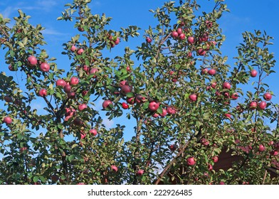 Apple orchard with red ripe fruits