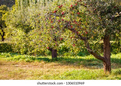 apple orchard with ripe apples. Apple garden in sunny summer or autumn day. Countryside