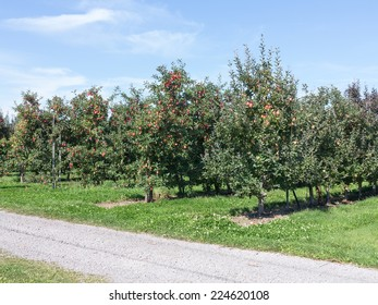 Apple Orchard with ripe fruit
