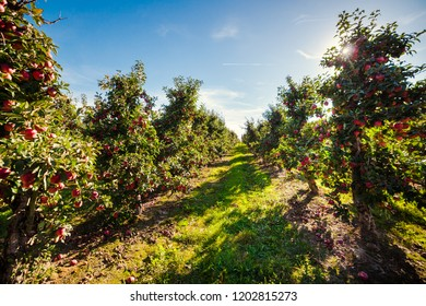 Apple orchard. Ripe red apples in an apple orchard. Autumn apple orchard background.
