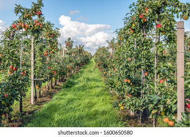 Apple orchard with seemingly endless rows of low apple trees led with steel wire on wooden posts. It is a sunny day with a blue sky in the Dutch fall season.