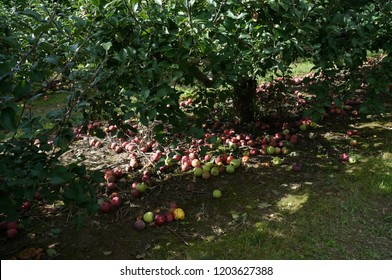 Apple Orchard Trees