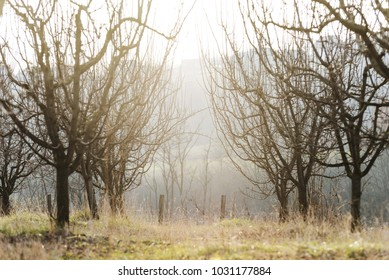 apple orchard trees with sun shine light