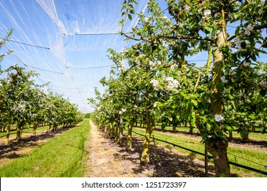 An apple orchard which rows of flowering trees are protected against birds, insects and hail by a thin white net stretched above, in spring in the french countryside.