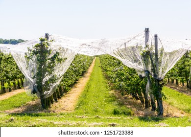 An apple orchard which rows of trees are protected against birds, insects and hail by a thin white net stretched above, in spring in the french countryside.