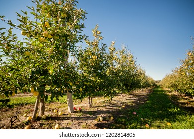 Apple orchard. Yellow apples on a tree branch in an apple orchard. Apple orchard.